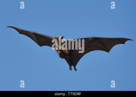 Indian flying fox (Pteropus giganteus) or the greater Indian fruit bat flying with pup - Stock Photo