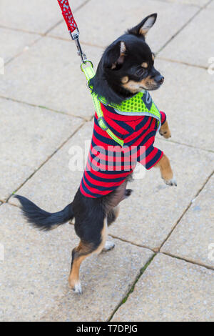 Boscombe, Bournemouth, Dorset, UK. 6th May 2019. Dachshund Dash, part of Bournemouth Emerging Arts Fringe (BEAF) Festival invites dachshunds and their owners to gather under the Daschund artwork to see how many they can gather in one place. Jesus the Chihuahua rises! Credit: Carolyn Jenkins/Alamy Live News - Stock Photo