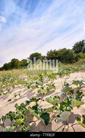 Dune plants on the German Baltic Sea coast. - Stock Photo