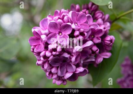 Common lilac (Syringa vulgaris 'Sensation', Syringa vulgaris Sensation), cultivar. Bunch of purple flowers close up. - Stock Photo