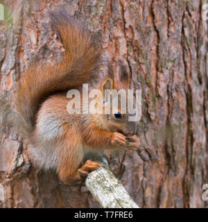 Red Squirrel (Sciurus vulgaris), aduld feeding and seeting on a pine branch - Stock Photo
