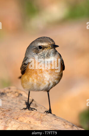First-winter make Common Redstart (Phoenicurus phoenicurus standing on a rock in Ciudad real, Spain. - Stock Photo