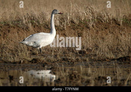 Immature Bewick's Swan (Cygnus columbianus) standing in wetland in China during winter. - Stock Photo