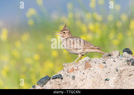 Male Crested Lark (Galerida cristata) on the Greek island of Lesvos. Singing from a heap of sand and dirt against a background with small yellow flowe - Stock Photo