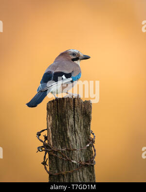 Jay perched on a wooden post at sunset - Stock Photo