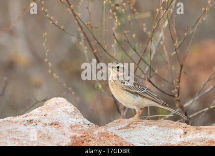 First-winter Tawny Pipit (Anthus campestris) during fall along the Black sea coast of Bulgaria near Cape Kaliakra. Standing on a rock surrounded by lo - Stock Photo