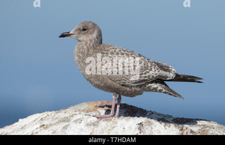 First-winter Thayer's Gull (Larus thayeri) standing on a rock along the coast in California, USA. - Stock Photo