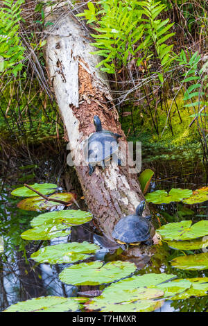 Two turtles on log in Okefenokee swamp: Species IDs are in additional info. category. (p. nelsoni & p. floridana). - Stock Photo