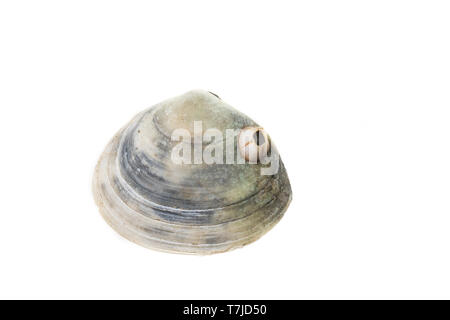 Peppery Furrow Shell - Stock Photo