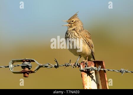 Galerida cristata - Crested Lark sitting on the ground and looking for food and insect - Stock Photo