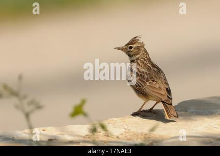 Galerida theklae - Thekla Lark sitting and singing in Spain, Donana - Stock Photo