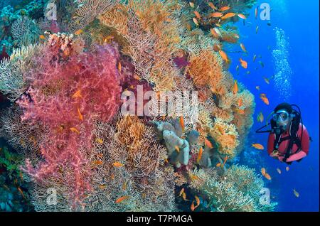 Egypt, Red Sea, a coral reef with red alcyonarians (Dendronephthya sp.) and sea fans (Subergorgia sp.) - Stock Photo