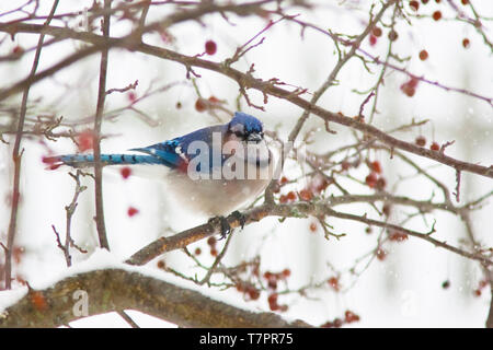 A blue jay in a crab apple tree - Stock Photo