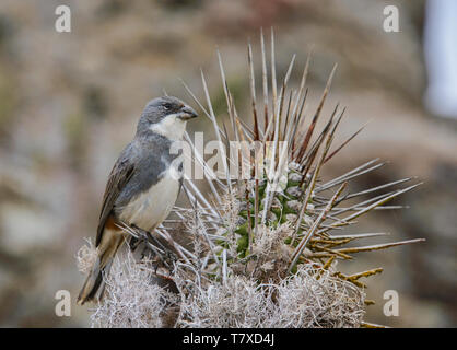 Andean sparrow (rufous-collared sparrow) on Isla Damas, Humboldt Penguin Reserve, Punta Choros, Chile - Stock Photo