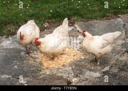 Group of three white hens eating on outdoor - Stock Photo