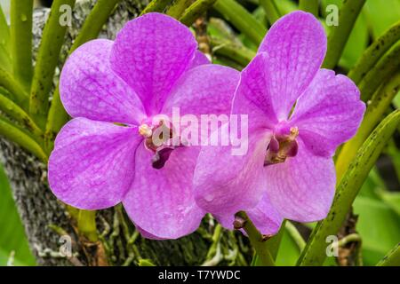 Papua-New-Guinea, Papua bay, National Capital District, Port Moresby town, Adventure Park, Orchid garden, orchid - Stock Photo