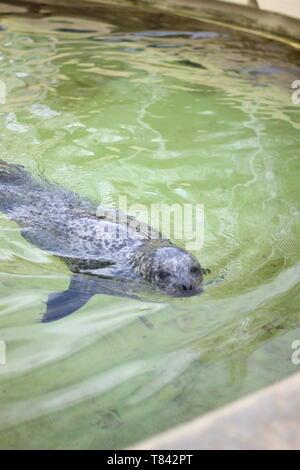 Seehund schwimmt im Wasserbecken des Geomar Helmholtz-Zentrum für Ozeanforschung Kiel - Stock Photo
