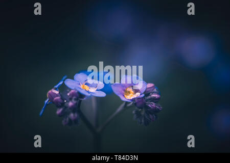 Forget me not flower / Myosotis alpestris - Stock Photo
