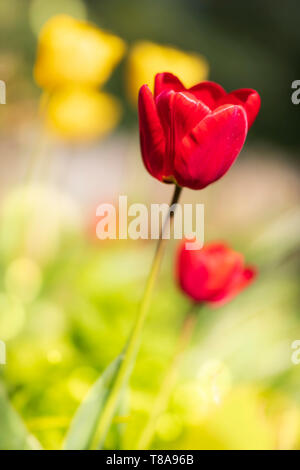 Colourful Tulips in the churchyard at St John the Baptist Church in Wellington, Somerset. - Stock Photo