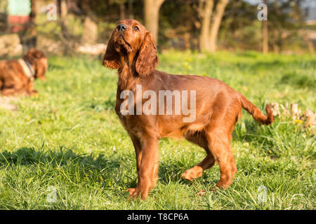 portrait of a puppy dog in the garden. Irish setter puppy dog - Stock Photo