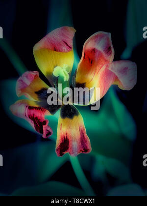 Abstract treatment of tulip flower, nature portrait photograph - Stock Photo