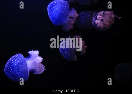 Portugal, Lisbon, Parque das Naþoes, Jellyfish in an aquarium inside the ocean pavilion and oceanography. This building is located in the middle of the water of the docks Olivais, in the middle of the park of the world exhibition of 1998 - Stock Photo