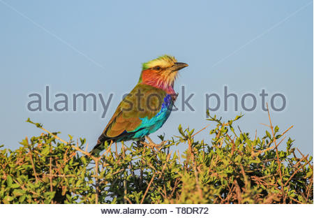 Lilac-breasted roller bird Coracias caudatus perched on green treetop against blue sky Masai Mara National Reserve Kenya East Africa - Stock Photo