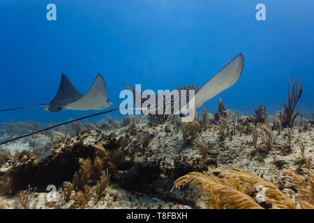 Pair of giant spotted eagle rays,  ,Aetobatus narinari, glide across sea plumes and sea fans on  coral reef - Stock Photo