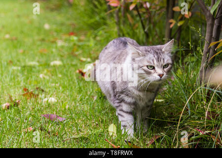 Beautiful cat with long hair outdoor in a garden, siberian purebred kitten on a field - Stock Photo