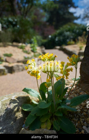 Cowslips (Primula veris) growing on a rockery in the spring sunshine, UK, GB. - Stock Photo