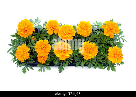 Tagetes flower tray box on white isolated background. top view. - Stock Photo