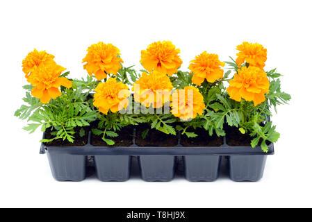 Tagetes flower tray box on white isolated background - Stock Photo