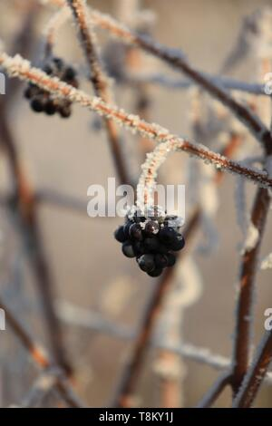 France, Bas Rhin, Alsatian vineyards in winter at the foot of the castle of Haut Koenigsbourg - Stock Photo