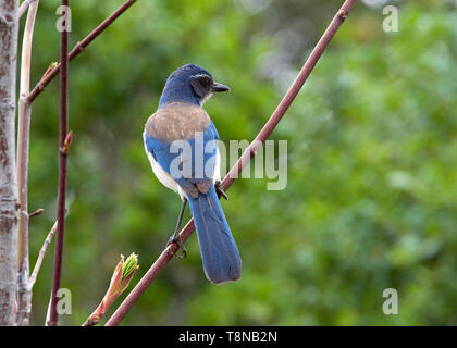 Profile of a California Scrub Jay facing away from viewer sitting in a tree with green trees in background. The California scrub jay is nonmigratory a - Stock Photo