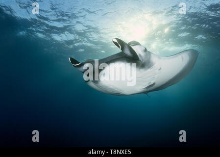 Oceanic manta (Mobula birostris) swimming in the blue with sun rays - underwater scenery of Revillagigedo Archipelago - Stock Photo