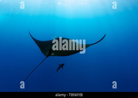 Black oceanic manta (Mobula birostris) swimming in the blue with sun rays - underwater scenery of Revillagigedo Archipelago - Stock Photo