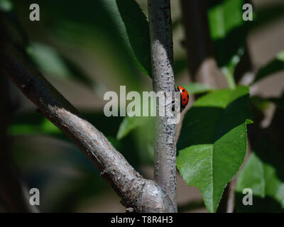Seven-spot ladybird beetle on a tree branch - Stock Photo