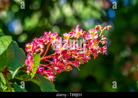 Aesculus x carnea 'Briotii' The Red Flowering Horse Chestnut Tree Flowers. - Stock Photo