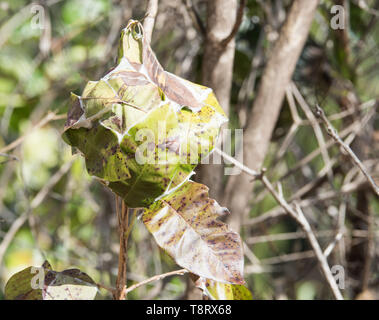Close-up of ant nest in the bushland at Kakadu National Park in the Northern Territory of Australia - Stock Photo