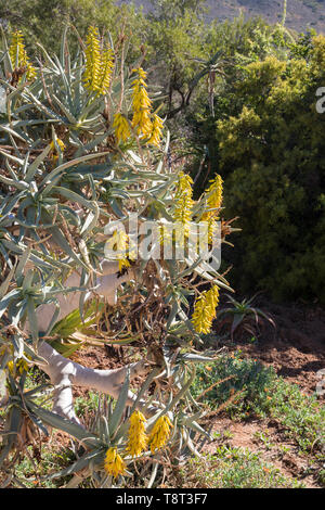 Aloidendron dichotomum, (Aloe dichotoma, Quiver Tree) in flower. Closeup on yellow flowers in early winter, Karoo Desert National Botanical Garden, Wo - Stock Photo