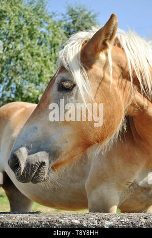 Contour portrait of a brown  bay horse standing at a rock grey wall in a garden in a sunny summer day. - Stock Photo