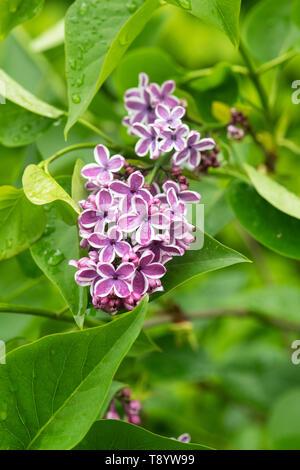 Syringa vulgaris 'Sensation'. Lilac flowering in spring after the rain. UK - Stock Photo