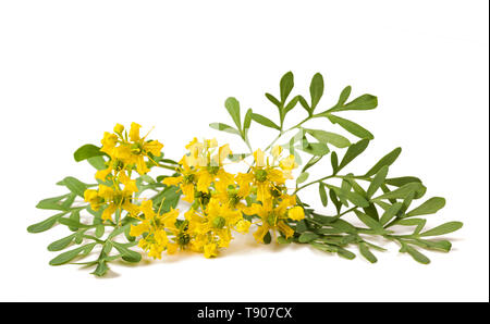 Herb of Grace flowers  isolated on white - Stock Photo