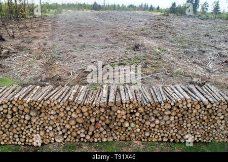 Sankt Ottilien, Germany. 16th May, 2019. Spruce trunks are lined up in front of a forest area in the Söhrewald affected by the windthrow. After the drought of 2018, trees are weakened and susceptible to bark beetle infestation. Credit: Swen Pförtner/dpa/Alamy Live News - Stock Photo