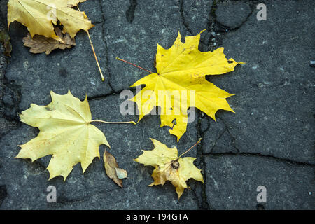 Yellow maple leaves lying on the ground on asphalt - Stock Photo