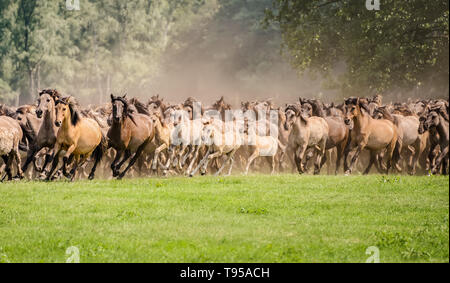 Herd of Duelmen ponies with foals running at a gallop across a meadow, a native horse breed lives wild in Merfelder Bruch Dülmen Münsterland, Germany - Stock Photo