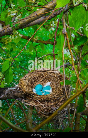 American robin nest (Turdus migratorius) with blue eggs in Spring Snow flowering Crabapple tree. White blossoms fell in the nest. Castle Rock Colorado US. - Stock Photo