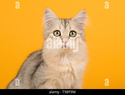 Cute siberian kitten portrait looking at the camera on a yellow background in a horizontal image - Stock Photo