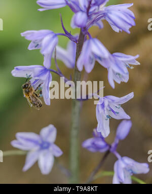 A bumble bee taking pollen from a Spanish Bluebell flower. - Stock Photo