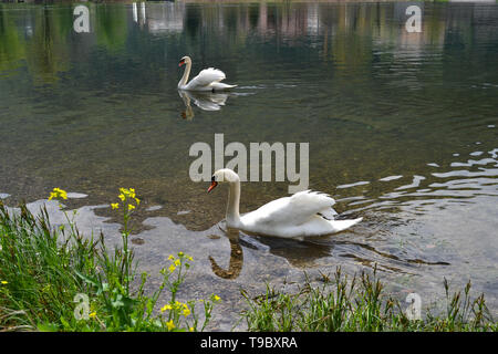 Beautiful panoramic view to two white swans swimming on lake Como at Lecco in a sunny spring day. - Stock Photo